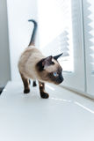 Cat stand on windowsill Royalty Free Stock Images