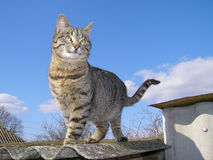 Cat Standing Against the Sky Stock Image