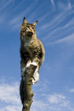 Cat standing on branch Royalty Free Stock Photo