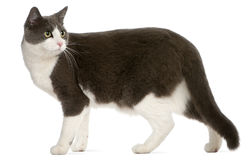 Cat standing in front of white background Royalty Free Stock Photography