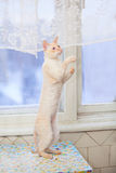 Cat standing on hind legs. Beautiful Cat standing on hind legs Royalty Free Stock Images
