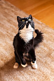 Cat standing on hind legs Royalty Free Stock Photos