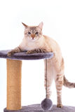 Cat standing on its hind legs. Royalty Free Stock Photography