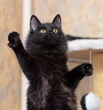 Cat standing on its hind legs Stock Photos