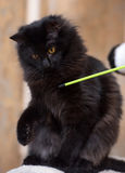 Cat standing on its hind legs Royalty Free Stock Image