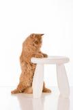 Cat Standing Longhair britânica na mesa branca e posses em cadeiras Imagens de Stock