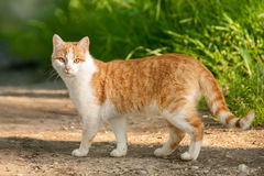 Cat Standing na estrada Foto de Stock Royalty Free