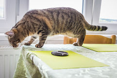 Cat standing over a table and looking down from the edge Royalty Free Stock Images