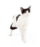 Cat Standing preto e branco curiosa Fotografia de Stock Royalty Free