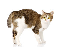 Cat standing in profile. looking at camera.  on white ba Royalty Free Stock Photography