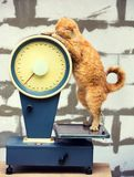 Cat standing on the scales. Cat Weigh control. Healthy body weight stock photography