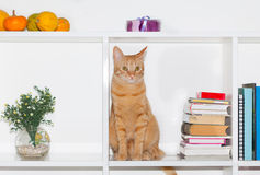Cat standing on shelf with books Royalty Free Stock Images