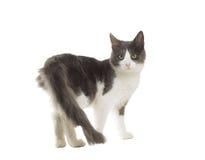 Cat standing Stock Image