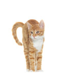 Cat standing Royalty Free Stock Photography
