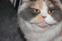 Cat Stare photo libre de droits