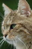 Cat Stare Stock Photos