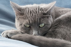Cat Stare. A grey cat staring at you while laying down Stock Photography