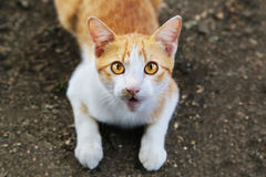 A cat stare at someone. Royalty Free Stock Image