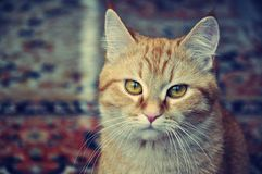 Cat stares. Beautiful red cat with big yellow eyes stares Stock Photos