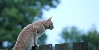 Cat stares into the distance Royalty Free Stock Photography