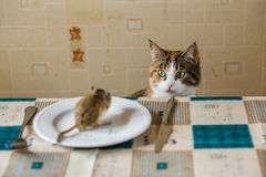 Cat stares at little gerbil mouse on the table. Concept of prey, food, pest. Stock Photography