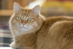 Cat stares at you. Portrait of a Siberian cat staring with green eyes Royalty Free Stock Photography