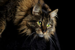 Cat Staring Royalty Free Stock Images