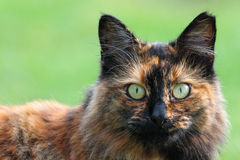 Cat Staring Foto de Stock Royalty Free