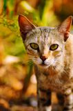Cat Staring bij u, Satara, Maharashtra, India stock foto's