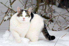 Cat staring at camera in winter garden. Cat staring at camera and walking in snow Royalty Free Stock Photos