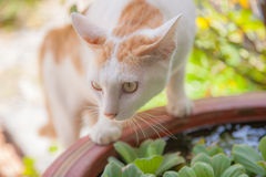 Cat staring foraging Stock Photography