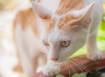 Cat staring foraging Royalty Free Stock Photography