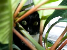 Cat is staring through green foliage with wide open eyes. Black and white cat is staring through green foliage with wide open eyes and looking at camera Stock Photo
