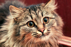 Cat Staring Intensely foto de stock royalty free