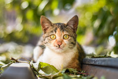 Cat Staring Intensely . Close up portrait of serious british shorhair cat stock photo