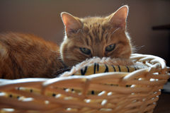 Cat staring at me from his basket. Shot of my Cat staring at me from his basket Royalty Free Stock Images