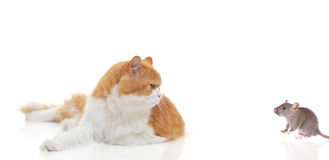 Cat staring at a mouse. Isolated on white royalty free stock image