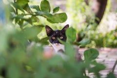 Cat Staring negra nacional en la cámara a través de las hojas fotografía de archivo