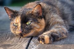 Cat staring observe tricolor royalty free stock photo