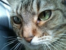 Cat staring with shiny eyes. A photo of my female cat, adorable as always staring at nothing with her big green emerald eyes Royalty Free Stock Photo