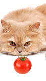 Cat staring at tomato Royalty Free Stock Image