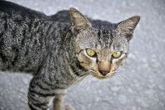 Cat. A staring cat with yellow eyes Stock Image