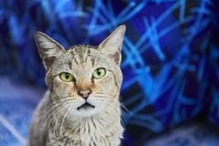 Cat staring at you in front of blue background. Half profile portrait of a sitting green-eyed cat, in front of a blue background, looking straight into the stock photography