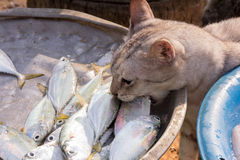 Cat stealing a fish Royalty Free Stock Photography