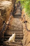 Cat at steep stairs of holy Mount Hua Shan, China Royalty Free Stock Photos