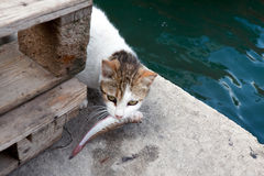 Cat with stolen fish. Cat with small fish in the teeth Stock Photos