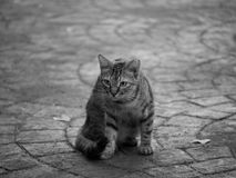 Cat. A cat on a stone path with an intent expression royalty free stock photography