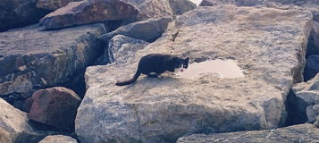 Cat and stones. Black cat is drinking water on the stones Stock Photo