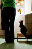 Cat stool and fridge. Hungry cat waiting for a meal. refrigerator emit bright light. cat feeding time Stock Photography