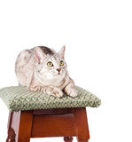 Cat on a stool. Isolated on white background Stock Photography